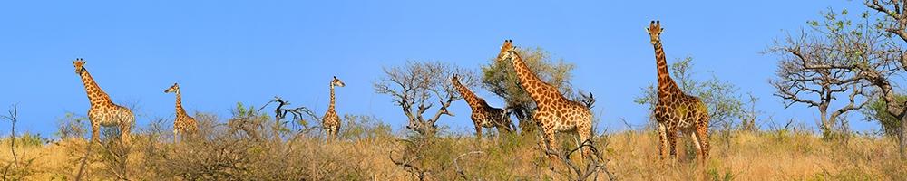 web Giraffes long
