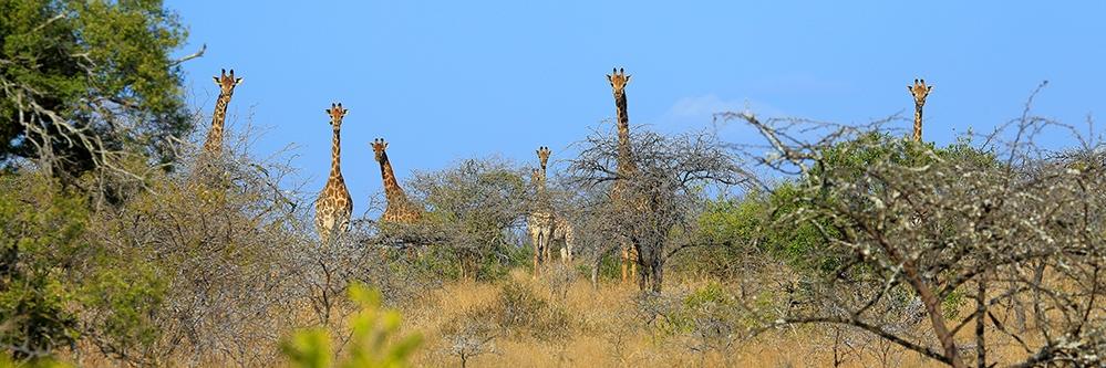 web Giraffes