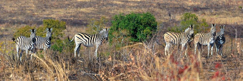 web Zebras