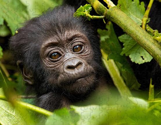 Gorilla baby face 252