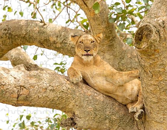 Lion Lying 252