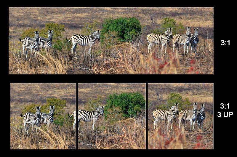 sheet Zebras